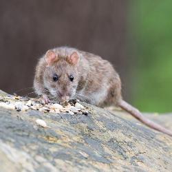 Rats & Mice | Public Health Madison & Dane County, Public